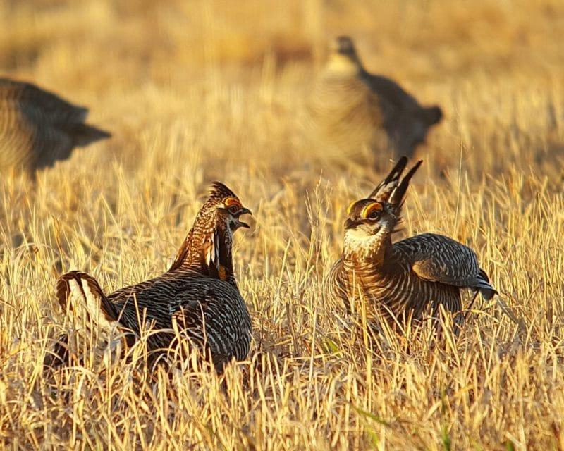 Greater prairie chickens in grass